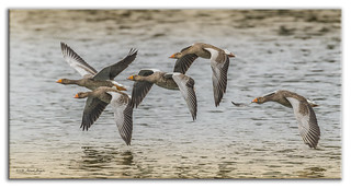 On Golden Pond - Greylag Geese