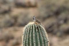 Cactus Wren (kidbirder) Tags: