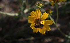 New Fly On The Block (harefoot1066) Tags: asteraceae verbesina verbesinaencelioides goldencrownbeard diptera fly aschiza syrphidfly syrphidae eristalinae volucellini copestylum copestylumsubgenusphalacromya copestylumapiciferum