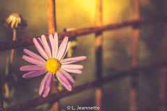 Daisy in Golden Morning Light (Lindsay Feldner) Tags: daisy blackeyedsusan flower hazy sunlight fence rusty field purple