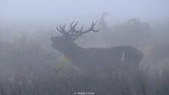 Misty Morning Bellow (Ralph J Clark) Tags: reddeer stag autumn bushypark sigma150500mmf563dgoshsm mist