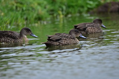 Female Chestnut Teal Ducks (Luke6876) Tags: chestnutteals teals ducks australianwildlife