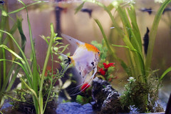 Pez. (Viki Stefchova Petkova) Tags: pez pecera naranja blanco agua algas nadar animal