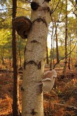 Silver Birch (Tony Howsham) Tags: canon eos70d sigma 18250 suffolk rspb north warren silver birch fungi