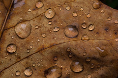 Textured Leaf (benevolentkira7) Tags: plant nature leaf outdoors outdoor outside fall season dark color contrast macro close water droplets drop drops