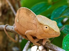 cookie...? (sunumet) Tags: globehorned chameleon madagascar andasibe branch tree grin eye look crouch reptile