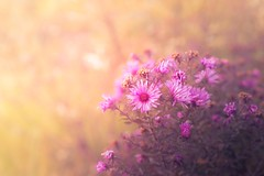 Sweet autumn day (RoCafe on/off) Tags: autumn garden nature flowers pink soft softfocus softlight pastels bokeh nikkor2470f28 nikond600