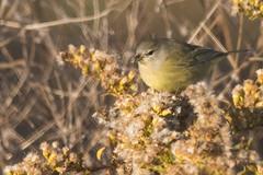 Orange-crowned Warbler (J.B. Churchill) Tags: birds maryland ocwa orangecrownedwarbler places sunsetpark taxonomy warblers worcester oceancity unitedstates us