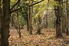 IMG_9002 (Geoff_B) Tags: badockswood bristol walkinthewoods autumn november unprocessed unedited
