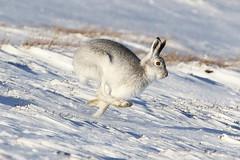 Mountain Hare (Ally.Kemp) Tags: mountain hares hare scotland scottish running wildlife white winter colours snow 2016