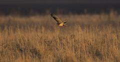 Short Eared Owl (Chris Bainbridge1) Tags: asioflammeus shortearedowl fen golden hour