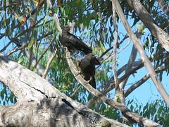 Corcorax melanorhamphos 1 (barryaceae) Tags: barraba nsw australia bird birds aves australianbirds ausbirds ausbird whitewinged chough corcorax melanorhamphos tarpolytravellingstockreserve