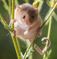 Harvest Mouse (londonlass16) Tags: harvestmice animal nature outdoor tail balance whiskers nose twitch mammal micromysminutus