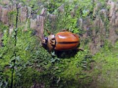 Larch Ladybird, Kingmoor Nature Reserve, 30 November 16 (gillean55) Tags: canon powershot sx60 hs superzoom bridge camera north cumbria kingmoor sidings nature reserve carlisle nnr larch ladybird aphidecta obliterata