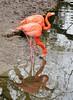 Flamingo - Phoenicopteridae (Helmut Stegmann) Tags: flamingo vogel bird vögel birds rosa wasser natur nature water spiegelung feathers federn feder feather geflügel schnabel paar zwei welikeit phoenicopteridae outdoor outside schwarz black color farbe planktonfiltrierer plankton weis white zoo tierpark münchen munich bayern bavaria oberbayern deutschland germany nikon nikkor d5200 animal tier animals animalplanet tiere wading longlegged pink