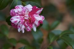 Camellia sasanqua (Jim Mayes) Tags: canon eos digital 90mm macro tamron tamronspaf90mmf28dimacro