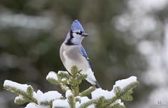 Geai bleu - Blue jay - Cyanocitta cristata (Maxime Legare-Vezina) Tags: bird oiseau nature canon wild wildlife animal fauna ornithology biodiversite winter hiver snow neige quebec canada