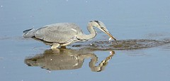 Grey Heron caught a little fish after his big splash. (Bogger3.) Tags: greyheron venuspool caughtalittlefish canon600d tamron150x600lens