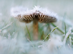 Frozen mushroom in icy grass (serge.vermeersch) Tags: sony minolta 50 50mm macro a77ii cold ice frost ijs kou winter mushroom paddenstoel