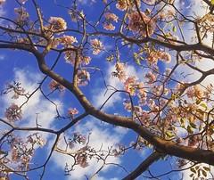 Ipê-rosa. (leovigildo Santos) Tags: tabebuia bignoniaceae pink tree wood nature natureza naturaleza maranhão nordeste brasil tropical rainforest flora flower wild native blue sky heaven