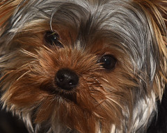 DSC_3006=3Nippet (laurie.mccarty) Tags: dog yorkshireterrier terrier yorkshire pets pet animals lauriemccartyphotos
