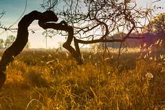 Lightning tree (ReDnAx1991) Tags: branches tree sun autumn grass zigzag flare bright dof netherlands
