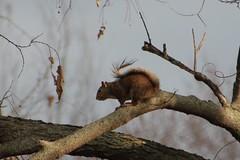 Squirel in the fading sun (kcsporttour) Tags: winter squirel