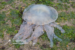 Barrel jellyfish-2 (Neil Phillips) Tags: mouth jellyfish bin medusa lid dustbin frilly cnidaria mouthed dustbinlid rhizostomapulmo barreljellyfish medusozoa frillymouthed