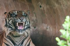 I got chills (dptro) Tags: feline whiskers tigers activity mammals endemic tigerstripes fang captivity carnivores smirking endangeredspecies tigerface endangeredanimals tigerpattern ferocioustiger tigerfangs