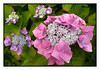 The Beautiful Hydrangea (Audrey A Jackson) Tags: colour macro nature closeup garden hydrangea panasonicdmctz3 1001nightsmagiccity