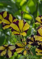 In Andreas Garten, Petunie (joergpeterjunk) Tags: pflanze blume blüte petunie canonef100mmf28lmacroisusm canoneos7dmarkii