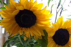 Library Sunflowers Close Up (Annette - A Simple Breath) Tags: sunflowers languageofflowers