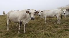 Moo (will_cyclist) Tags: cycling cows piemonte vtt sampeyre stradadeicanoni