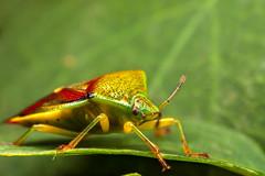 IMG_1747-2 (snomanda) Tags: macro nature field animal canon bug insect outdoor shield depth invertebrate mpe65mm mt24ex 5dmkii