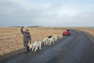 Dogsledding In Iceland: Puppy Love
