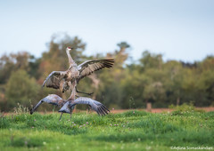 Sandhill  Crane - Crane Dance 2 (digithief) Tags: ca cambridge ontario canada birds nikon sandhillcranes d800 cranedance