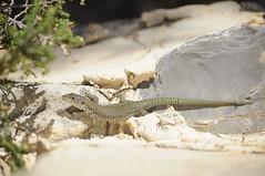 Moroccan rock lizard (Teira perspicillata) (Sky and Yak) Tags: rock reptile lizard menorca moroccan ciutadella minorca perspicillata lithica teira