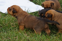 Puppies born 09-14-15