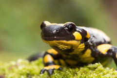 salamander salamander