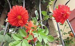 Dalias rojas (patriciamura) Tags: flora jardin botanica rojas bulbos dalias rizomas