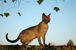 Cat on a Fence