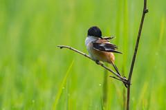 Grooming time for MR. Long-tailed Shrike (Emu Alim) Tags: birds animal gitzo nikond4 wimberleygimbalhead sb910 nikonafsnikkor800mmf56efledvr nikonafsnikkor800mmf56e