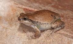 "Desert Tree Frog (Litoria rubella) (Gus McNab) Tags: desert tree frog litoria rubella amphibian amphibians frogs herp herpetofauna herpetology amphibia australia ""australian frogs"" frog"" amphibians"" amphibian"" treefrog ""tree hylidae hylid wildlife ""wildlife photography"" fauna"