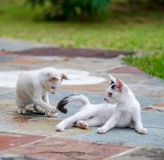 Kittens at Play (d-harding) Tags: animals cat nikon kitten malaysia borneo kotakinabalu putatan d5100 nikond5100 sigma105mmf28macroexdgoshsm