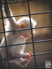 Imprison (ongushi) Tags: animal monkey sad sadly pity glum imprison ongie ongushi