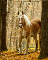 Belgian Horse (Michael Bartoshevich) Tags: horse belgian workhorse belgianhorse pullinghorse