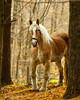 Belgian Horse (Michael Bartoshevich) Tags: horse belgian workhorse belgianhorse pullinghorse