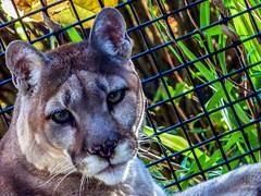 Puma (J.T. Lindroos) Tags: lumix zoo louisville puma mountainlion louisvillezoo panasoniclumix fz70 dmcfz70