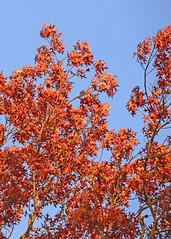 oak leaves_GAM_1027 (gmontjr) Tags: autumn trees fall newjersey oak nikon nj fallfoliage pines jersey pinelands pinetrees atlanticcounty southjersey oaktrees pinebarrens pineforest southernnewjersey d600 nikond600 tamronsp180mmf35