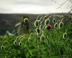 New life (creyala) Tags: life red sky plant green grass scotland spring nikon poppy bud newlife d7000